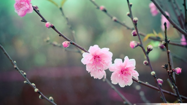 Cherry Blossom wallpaper Peach flowers (2)