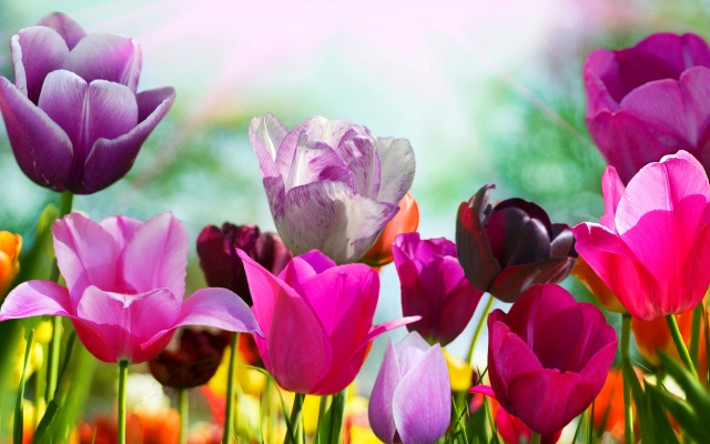 spring-wallpaper-tulip-flowers
