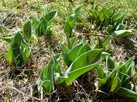 tulips03_20