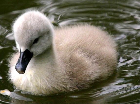 baby-swan-baby-animals-19796021-575-431