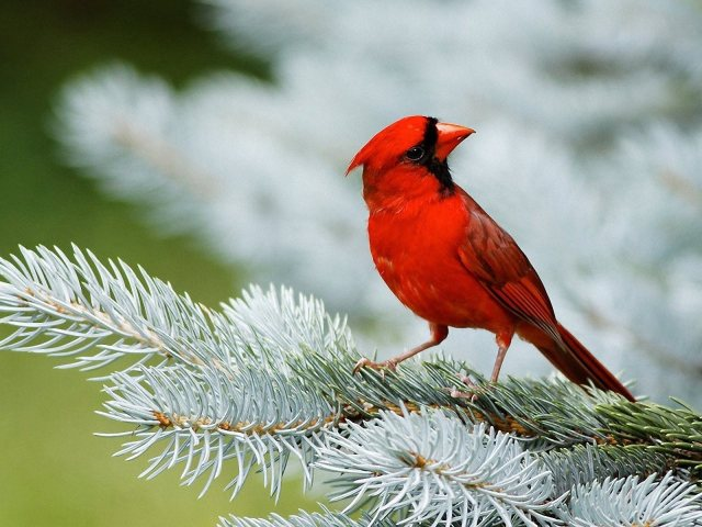 cardinal bird 1600x1200
