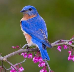 Eastern_Bluebird17_Glenda_Simmons_FL_2012-300x295