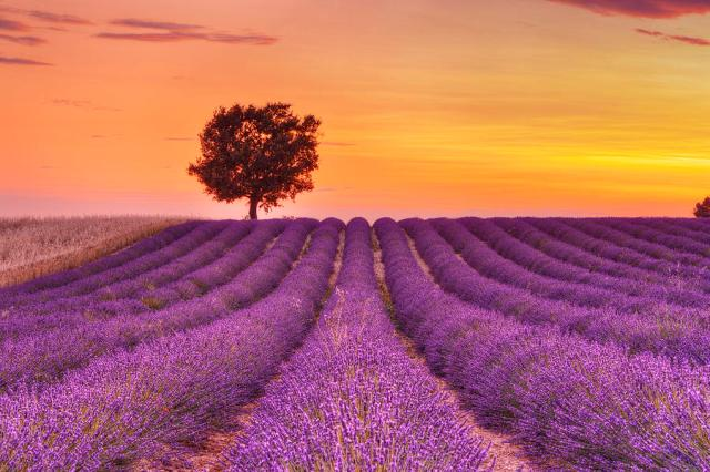 english-lavender-field-with-tree-at-sunset-valensole-valensole-plateau-alpes-de-haute-provence-provence-alpes-cote-d-azur-provence-france-martin-ruegner