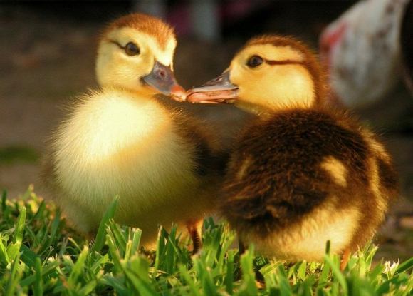 l-Muscovy-Ducklings