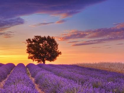 landscapes nature france english lavender provence lone tree 1600x1200 wallpaper_www.wallpapername.com_5