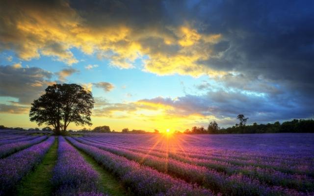 lavender-field-235129