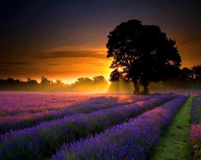 lavender-fields-at-sunset