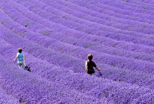 lavender-fields-children