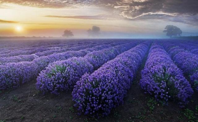 Lavender-fields-Provence-France_7
