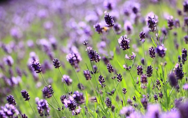 lilac-lavender-field