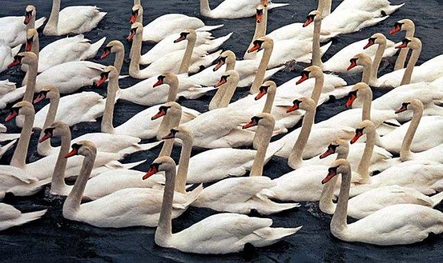 Mute-Swans-Welney