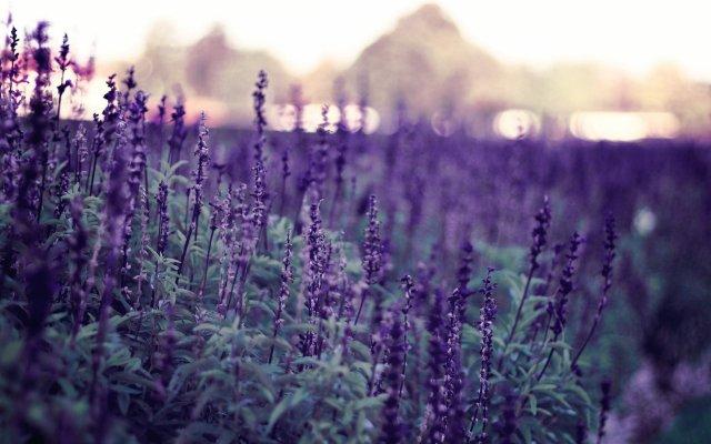 sunset-lavender-field-1920x1200