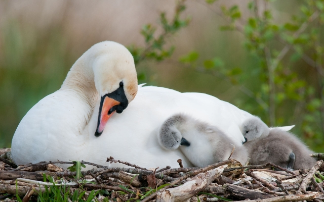 swan-with-ducklings-315573