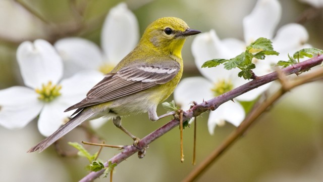 Pine Warbler (Dendroica pinus) adult, perched on stem beside flowering dogwood, U.S.A.